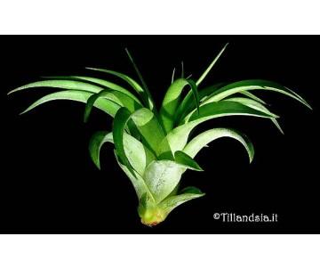 Tillandsia brachycaulos multiflora R