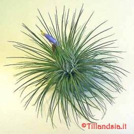 Tillandsia magnusiana R