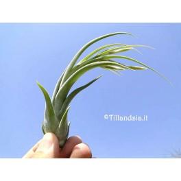 Tillandsia paucifolia R
