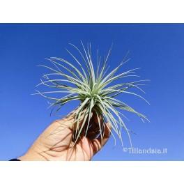 Tillandsia oaxacana R