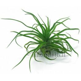 Tillandsia streptophylla L
