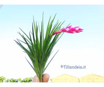 Tillandsia tenuifolia var. strobiliformis R