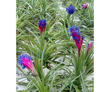 Tillandsia aeranthos R