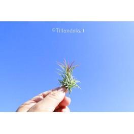 Tillandsia ionantha var. fuego R