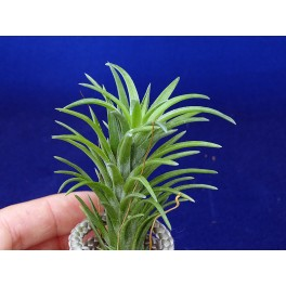 Tillandsia neglecta R
