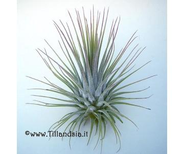 Tillandsia ionantha var. ionantha L