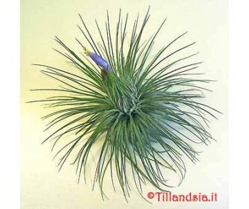 Tillandsia magnusiana XL
