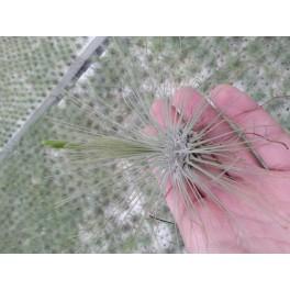 Tillandsia argentea L