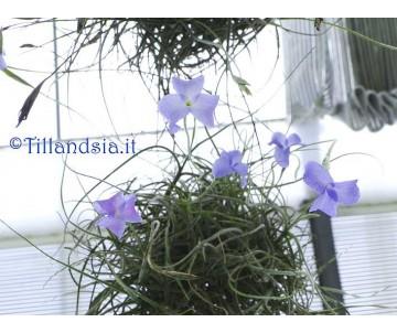 Tillandsia mallemonti S