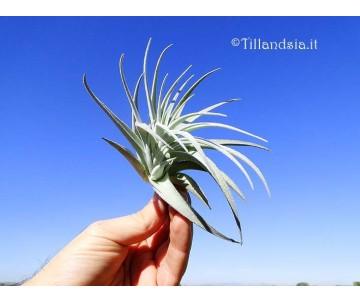 Tillandsia recurvifolia var. subsecundifolia R