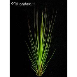 Tillandsia juncifolia R