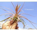Tillandsia concolor R