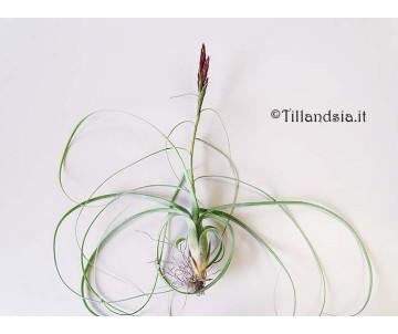 Tillandsia balbisiana R