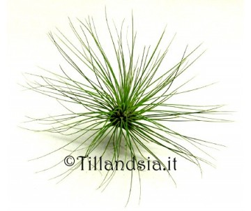 Tillandsia filifolia R