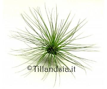 Tillandsia filifolia R