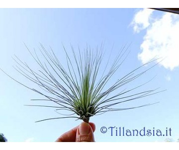 Tillandsia filifolia L