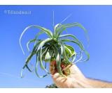 Tillandsia streptophylla R