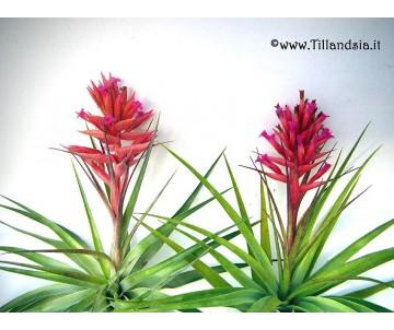 Tillandsia geminiflora R