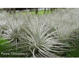 Tillandsia tectorum L