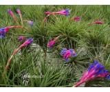 Tillandsia tenuifolia R