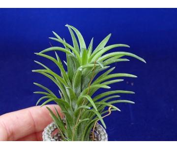 Tillandsia neglecta R