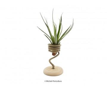 Tillandsia fasciculata con...