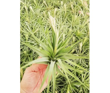 Tillandsia geminiflora XL