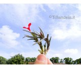 Tillandsia albertiana R