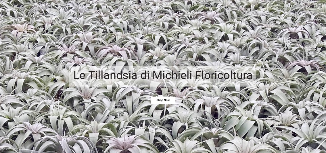 Tillandsia xerographica